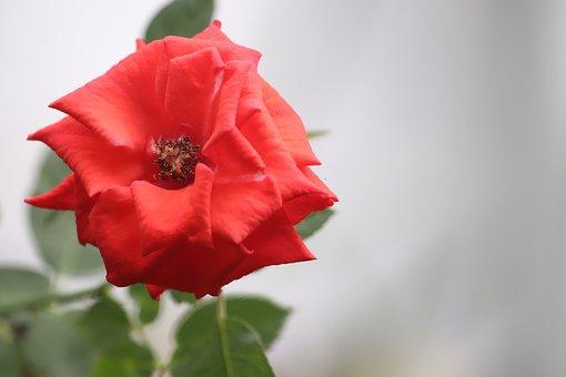 Flower, Rose, Red, Red Rose, Red Flower, Petals