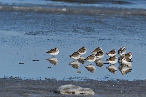 Dunlin, Birds, Coast, Sandpiper, Shorebirds, Waders