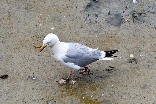 Seagull, Herring Gull, Bird, Wildlife
