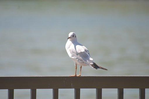 Seagull, Bird, Freedom, Wildlife, Flying, Gull, Sea