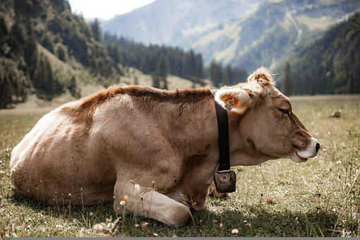 Simmental Cattle, Cow, Beef, Livestock, Cattle