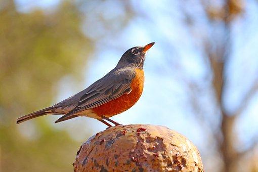 Robin, Bird, Backyard, Fountain, Winter, Animal, Sky