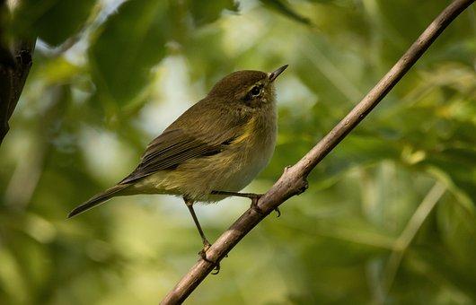 Willow Warbler, Chiffchaff, Bird, Songbird, Small