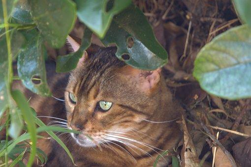 Cat, Bengal Cat, Stalking, Feline