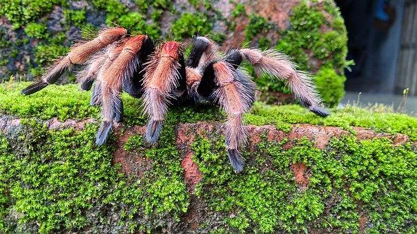 Tarantula, Spider, Animal, Tarantula Spider, Big Spider