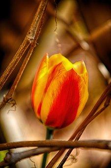 Spring, Tulip, Flowers, Nature