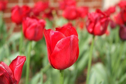 Tulip, Flower, Spring, Garden, Bloom, Tulips, Flora