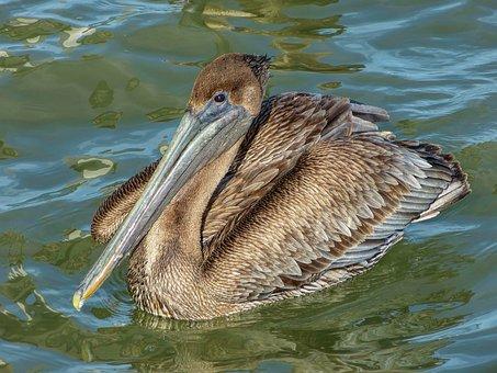Brown Pelican, Pelican, Bird, Nature, Wildlife, Water