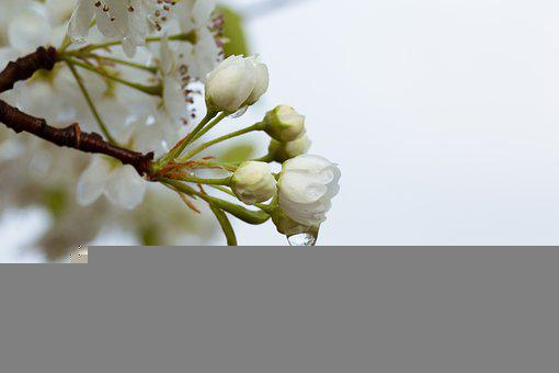 Water, Blossom, White, Flowers, Tree, Nature, Petals