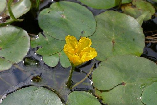 Plavin, Foliage, Water, Nature, Flower, Yellow