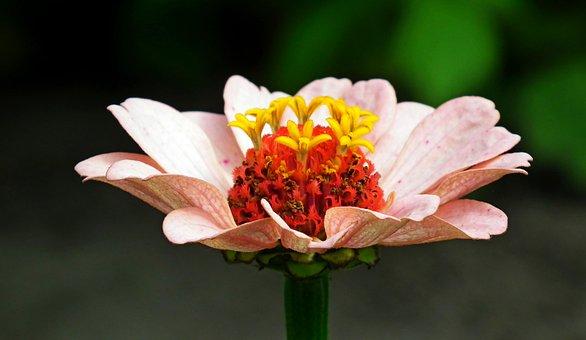 Zinnia, Flower, Pollen, Nectar, Bloom