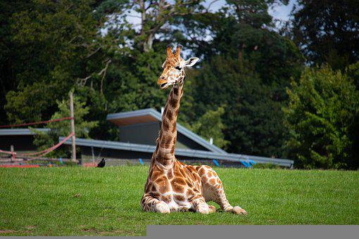 Giraffe, Zoo, Animal, Mammal, Africa, Wildlife, Nature