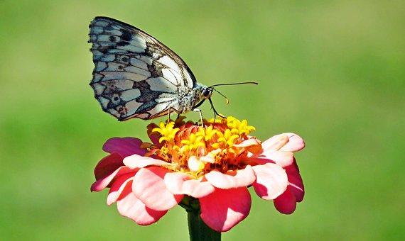 Hoe, Insect, Animals, Zinnia, Flower, Nature, Macro