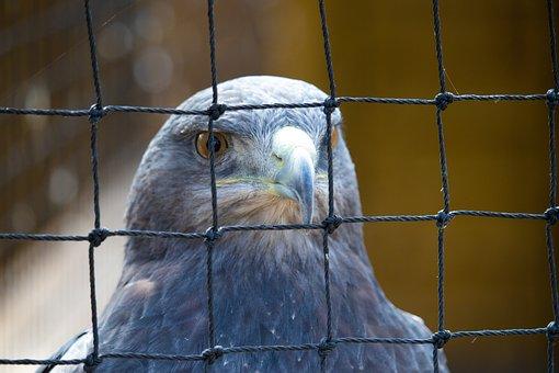 Hawk, Grey, Bird, Wildlife, Nature, Beak, Feather