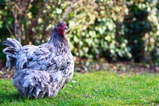 Chicken, Hen, Poultry, Bird, Animal, Bill, Beak