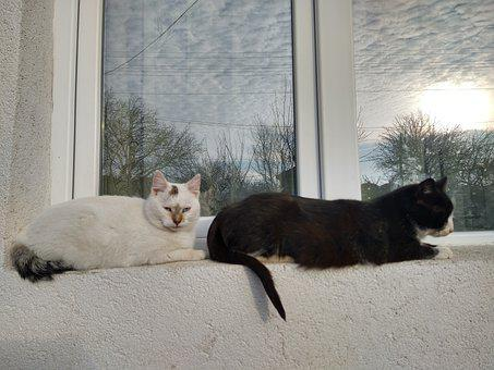 Two Cats, Black And White Cat, Cats At The Window