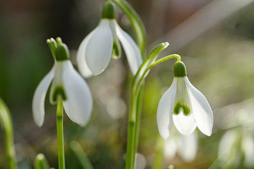 Snowdrops, Flowers, Snowdrop, Spring, Bloom, Plant