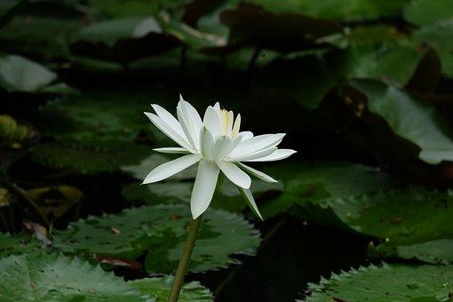 Flower, Waterlily, Bloom, Blossom, Nature, Zen, Purple