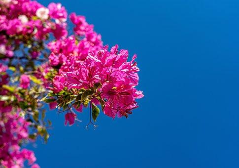 Bougainvillea, Sky, Blue Sky, Plant, Growing