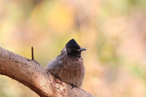 Bird, Bulbul, Perch, Nature, Wildlife, Branch