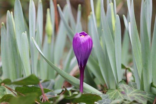 Crocus, Flower, Bulb, Plants, Garden, Violet, Spring