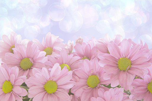Chamomiles, Flowers, Pink, Pink Flowers