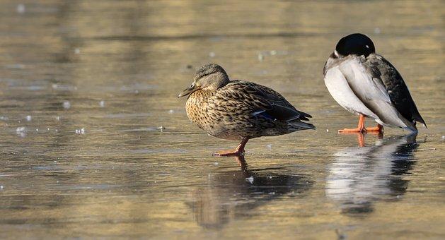 Ducks, Frozen, Lake, Winter, Cold, Ice, Frozen Lake