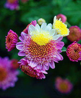 Chrysanthemums, Flowers, Blooms, Colors