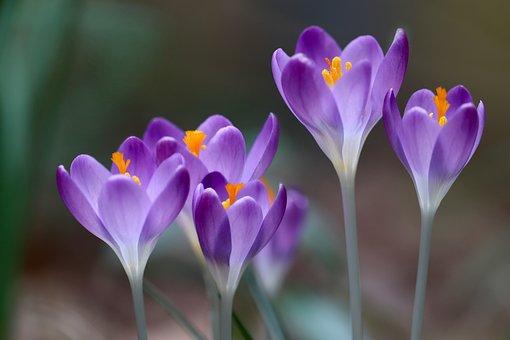Crocus, Spring Flower, Spring Messenger Comment