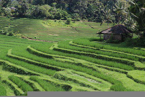 Terrace, Farm, Rice, Hut, Crop, Farmland