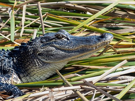 Alligator, Reptile, Animal, Predator, Dangerous