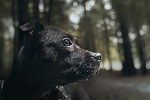 Staffordshire Bull Terrier, Dog, Pet, Staffy, Cute