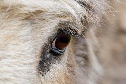 Eye, Eye Of A Donkey, Close-up, Eyeball, Eyelashes