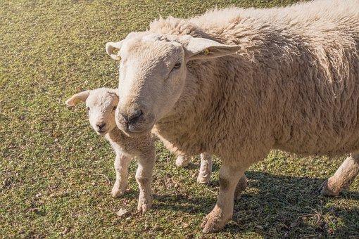 Sheep, Lamb, Farm, Animal, Wool, Nature, Field, Mammal