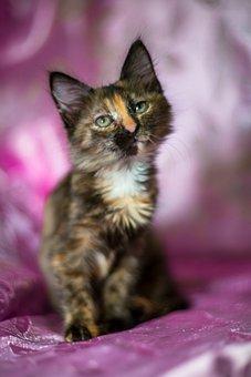 Kitten, Tortoiseshell Cat, Torties, Cat, Pet, Feline
