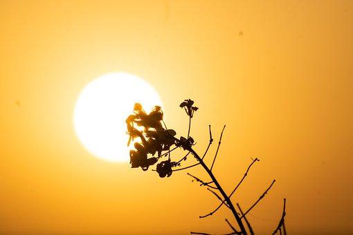 Sunset, Mustard Flower, Dusk, Dawn, Twilight, Floral