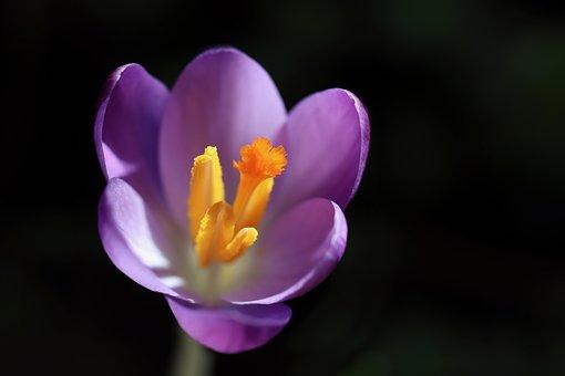 Crocus, Flower, Plant, Petals, Purple Flower, Bloom