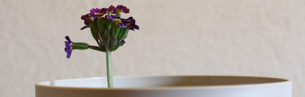 Primrose, Flower, Plant, Violet, Spring, Flowerpot