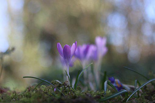 Crocus, Flower, Bulb, Plants, Garden, Parma, Spring