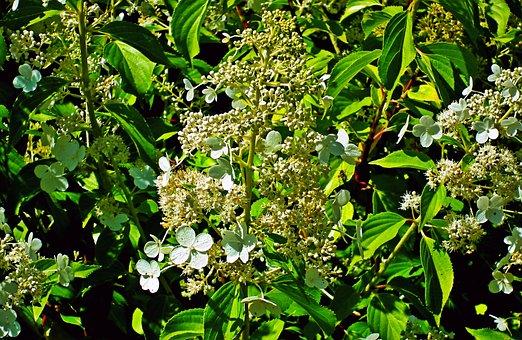 Hydrangea, Garden, Flowers, White, Inflorescence, Plant