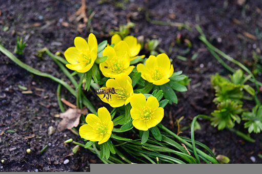 Winter Aconite, Flowers, Bee, Insect, Animal