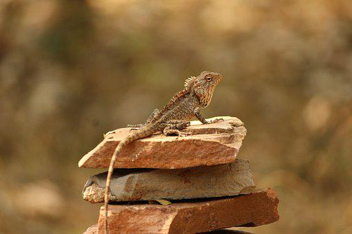 Lizard, Animal, Stones, Reptile, Wildlife, Tail, Wild