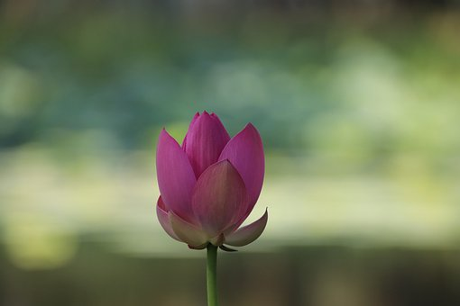 Lotus, Flower, Plant, Petals, Water Lily