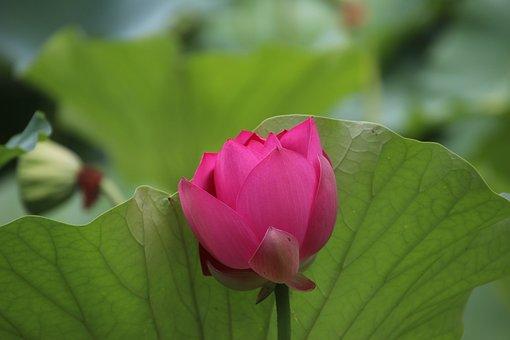 Lotus, Flower, Plant, Petals, Water Lily, Bloom