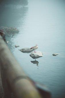 Nature, Bird, Duck, Alone, Animal, Wildlife, Plumage