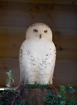 Owl, Snow, White, Feather, Nature, Plumage, Wings, Beak