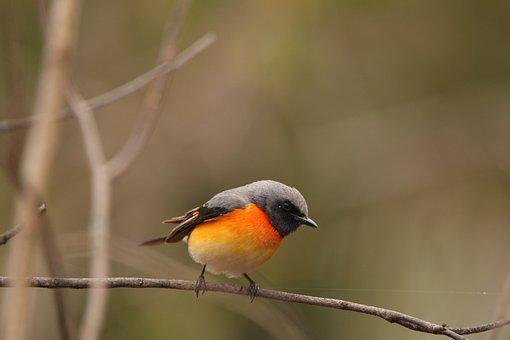 Orange, Minivet, Bird, Bright, Wildlife, Forest, Colour