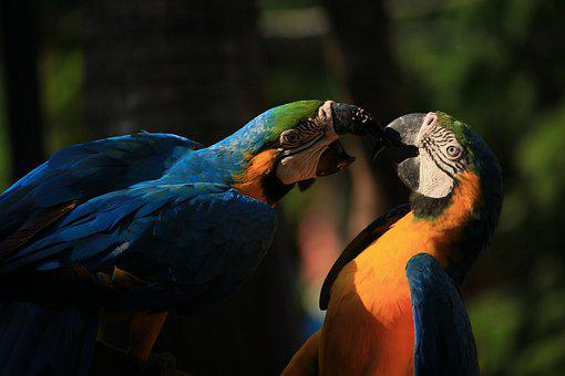 Blue And Yellow Macaws, Macaws, Pair, Birds, Parrots