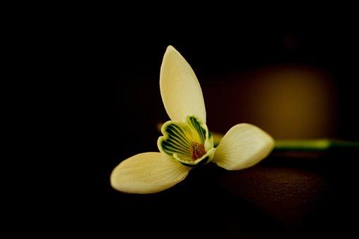 Snowdrop, Flower, Plant, White Flower, Petals, Bloom