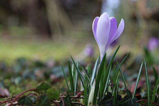Crocus, Flower, Bulb, Plants, Garden, Lilac, Spring